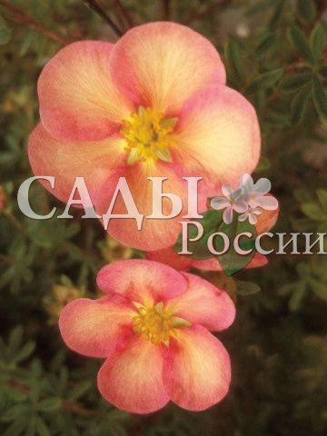 Курильский чай ЧаровницаДекоративные деревья, кустарники, лианы<br>НОВИНКА!   <br> <br>Изумительные двуцветные цветки — персиковые<br>лепестки с краями более насыщенного ярко-розового цвета, диаметром 4 см.<br>
