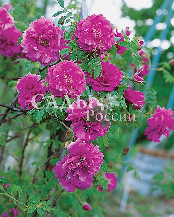 Роза Морщинистая ХансаДекоративные деревья, кустарники, лианы<br>НОВИНКА!   <br> <br>Из этого сорта получится самая лучшая живая изгородь — непроходимая и красивоцветущая.<br>