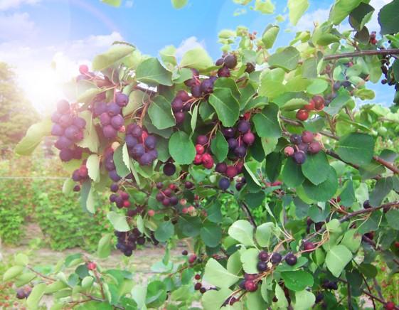 Ирга МедоваяИрга канадская<br>НОВИНКА!   <br> <br>  <br>Известный канадский сорт, очень высокоурожайный,<br>особенно в молодом возрасте.<br>