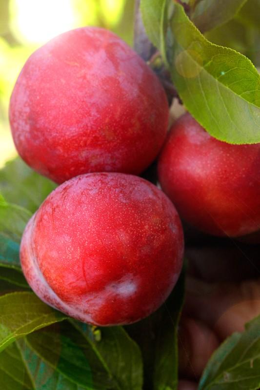 Слива Амурская розаСлива на полукарликовом подвое<br>НОВИНКА!   <br> <br> <br>До чего же хорошая слива! Деревья будут просто усыпаны красными крупными плодами с лёгким восковым налётом.<br>