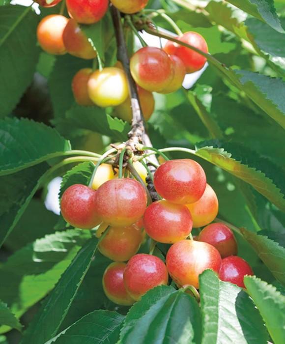 Черешня Красная горкаЧерешня<br>НОВИНКА!   <br> <br> <br>Мечта любого садовода! Красотка раннего срока созревания, плоды волшебные золотистые с лёгким розоватым румянцем, вес 4-5 г.<br>