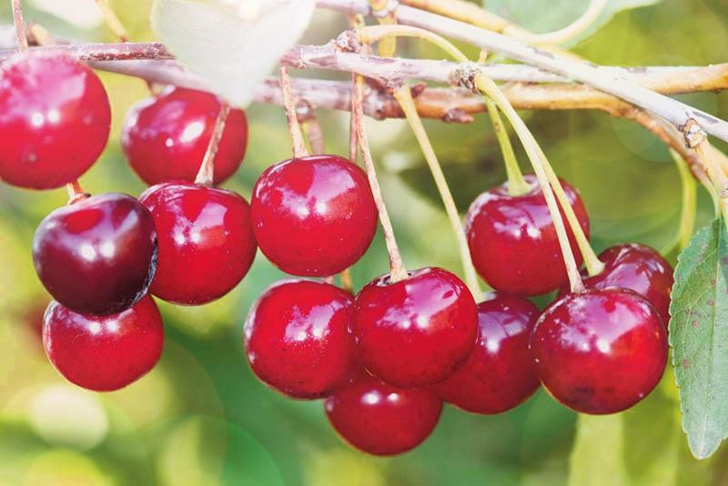 Вишня кустарниковая Уральская рубиноваяВишня<br>Куст высотой 1,5—1,8 м с широкой кроной и раскидистыми ветвями. Плоды массой 3—4 г, тёмно-красные, кисло-сладкого вкуса.<br>