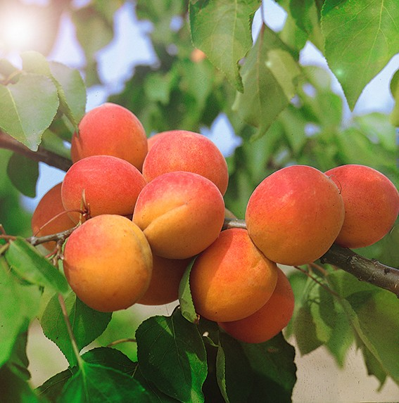 Абрикос АвгустинАбрикос<br>НОВИНКА!    <br> <br>Самый настоящий красавец-абрикос, как на юге! Дерево<br>среднерослое, со здоровыми ветвями и стволом,<br>плодоносит каждый год во второй декаде августа.<br>
