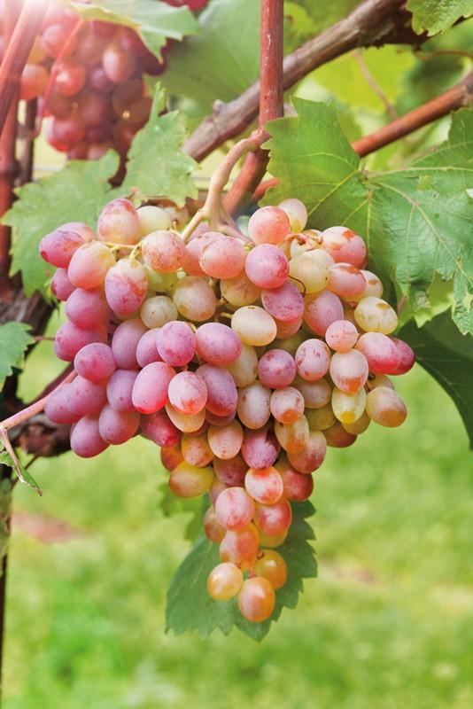 Виноград ЛивияВиноград<br>НОВИНКА!    <br> <br>«Ливия» порадует Вас не только великолепным вкусом, но и красотой<br>гроздей. Ягоды очень сладкие с приятным мускатным оттенком.<br>