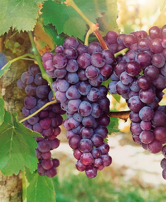 Виноград Кишмиш Красное пламяВиноград<br>НОВИНКА!    <br> <br>Красноватые ягоды вспыхнут ярким костром в Вашем<br>винограднике, а по мере созревания будут приобретать насыщенный фиолетово-бордовый цвет.<br>