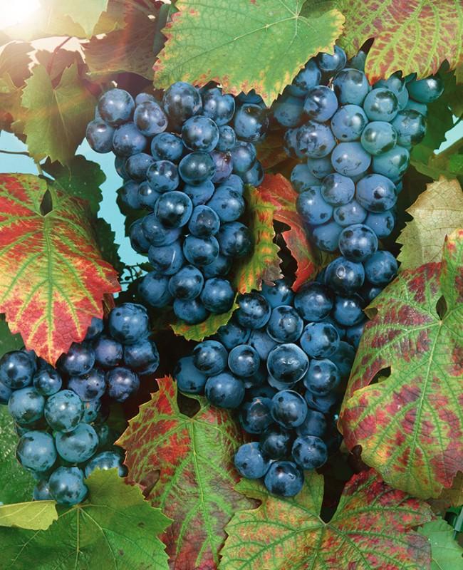 Виноград ПримаВиноград<br>НОВИНКА!    <br> <br>Один из самых урожайных сортов столового винограда раннего срока созревания.<br>