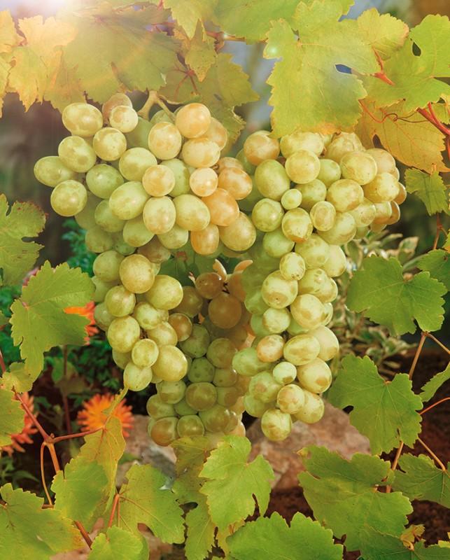 Виноград ПрелестьВиноград<br>НОВИНКА!    <br> <br>Очень верное название для сорта! Виноград раннего<br>срока созревания (100-110 дней).<br>