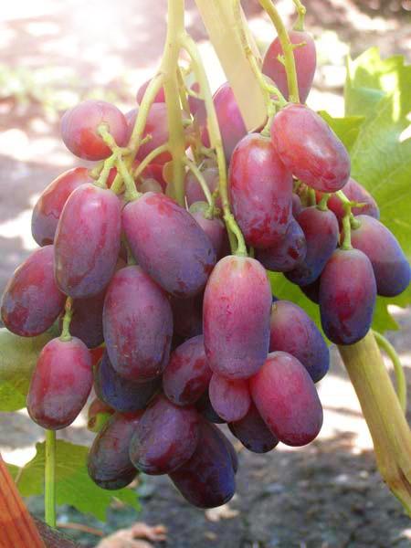 Виноград ЯгуарВиноград<br><br>