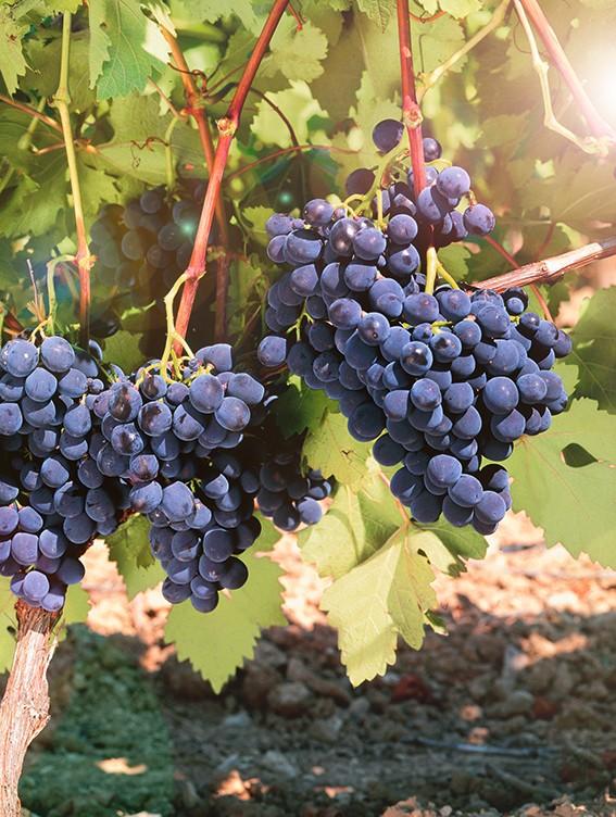 Виноград КарминерВиноград<br>НОВИНКА!    <br> <br>Старинный французский винный сорт среднего срока созревания.<br>