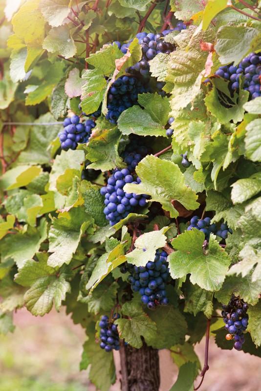 Виноград ПлечистикВиноград<br>НОВИНКА!    <br> <br>Старинный сорт родом с Дона. Созревает в течение<br>138-140 дней.<br>