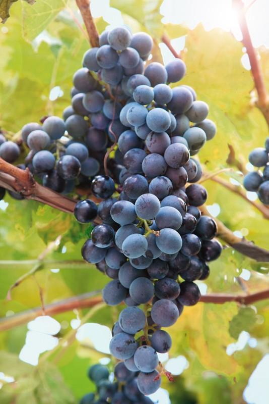 Виноград Саперави северныйВиноград<br>НОВИНКА!    <br> <br>Гибрид знаменитого грузинского сорта, адаптированный<br>для выращивания в более северном климате.<br>