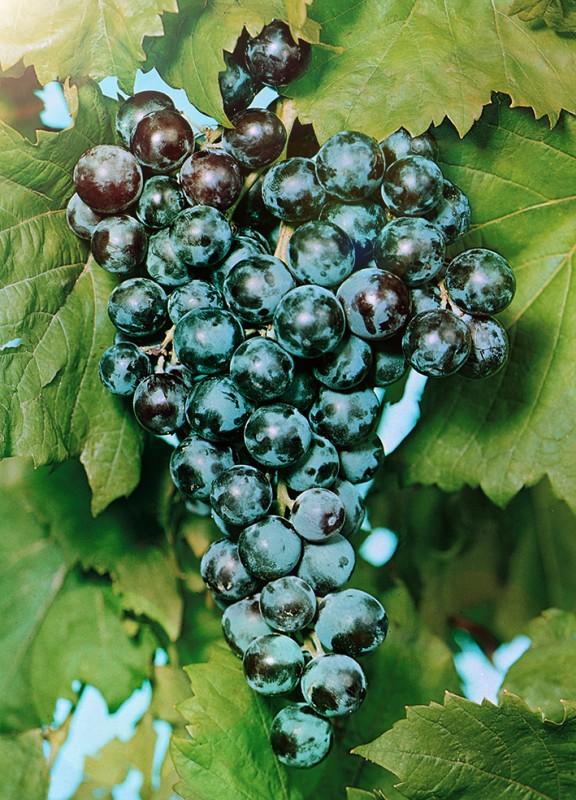Виноград Цимлянский черныйВиноград<br>НОВИНКА!    <br> <br>Главный материал для производства цимлянских красных и игристых вин.<br>