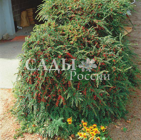 Кизильник горизонтальныйДекоративные деревья, кустарники, лианы<br>НОВИНКА!   <br> <br> <br>Это одна из самых изящных разновидностей кизильника.<br>В отличие от большинства своих листопадных собратьев<br>этот сорт вечнозелёный.<br>