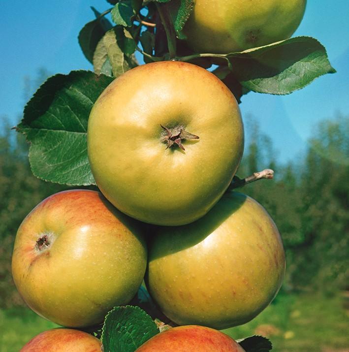 Яблоня МалюхаЯблони Колонновидные<br>НОВИНКА!   <br> <br>Вкуснейший сорт с жёлто-зелёными, чуть вытянутыми плодами, радующими едва заметным румянцем.<br>