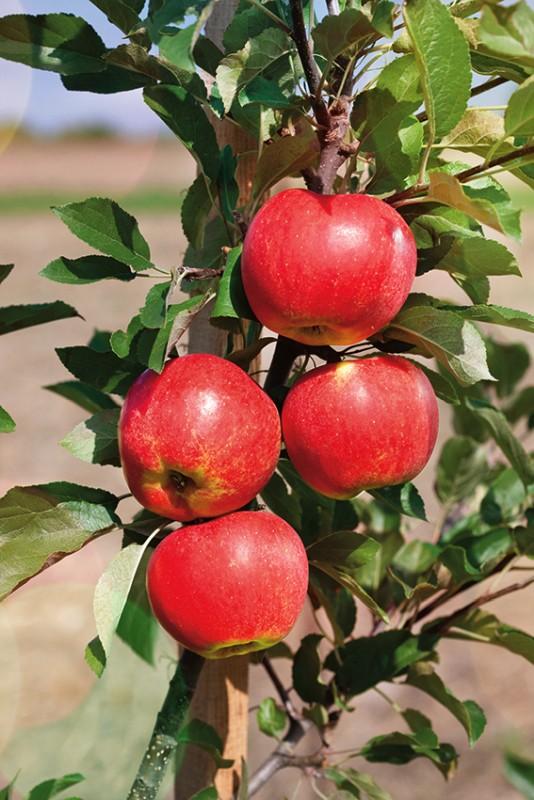 Яблоня ПриокскоеЯблони Колонновидные<br>НОВИНКА!   <br> <br>Новейший высокоурожайный зимний сорт с красивыми<br>сочными плодами.<br>
