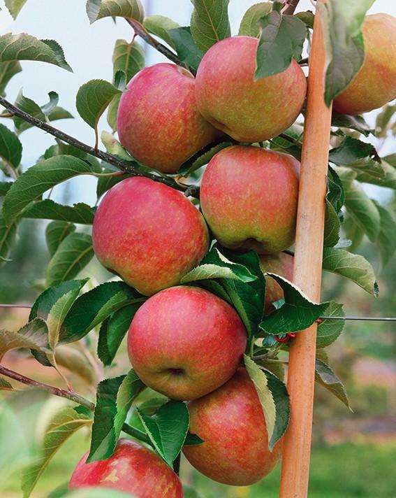 Яблоня ОстанкиноЯблони Колонновидные<br>НОВИНКА!   <br> <br>Этот сорт станет не только источником<br>фруктов, но и элементом ландшафтного дизайна в Вашем саду.<br>