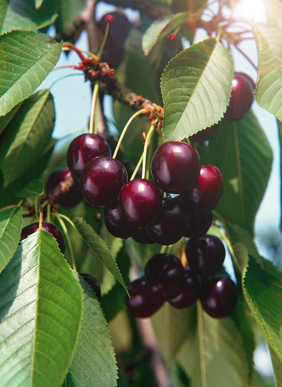 Черешня РевнаЧерешня<br>Дерево средней<br>величины, зимостойкость дерева высокая. Плоды созревают во второй декаде июля. Они высоких товарных качеств,<br>тёмно-красные, при полном созревании почти чёрные, крупные.<br>