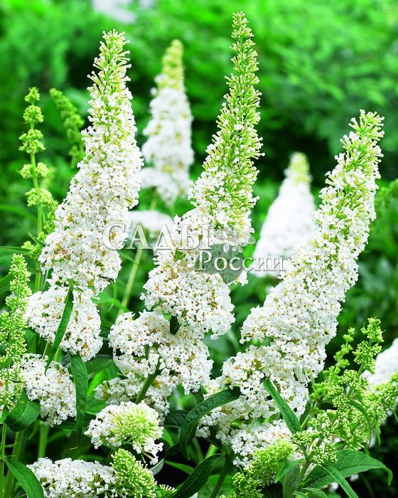 Будлея Белое изобилиеБуддлея<br>Ослепительное белоснежное зрелище, грациозная <br>метелица в золотистых блёстках.<br>