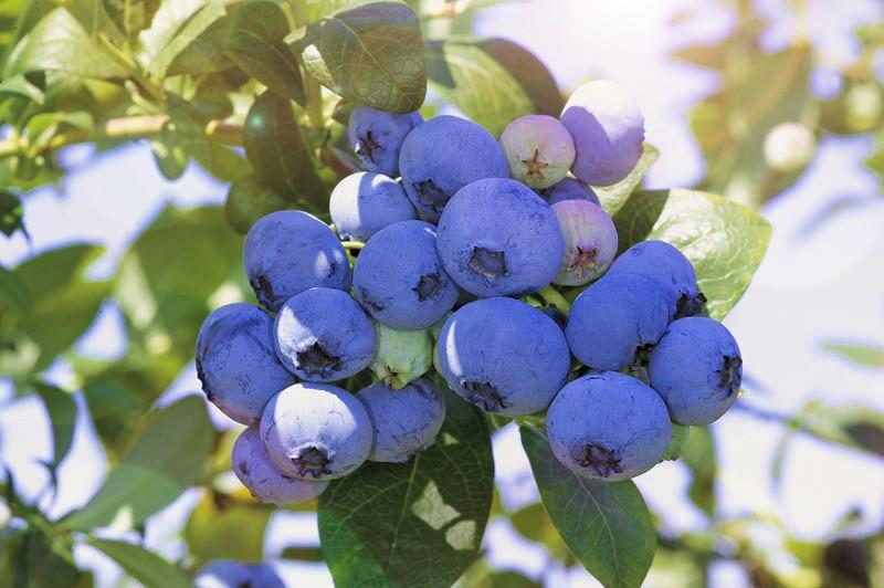 Голубика НельсонГолубика<br>Сорт среднего срока созревания. Образует плотные кусты высотой 1,3—1,6 м, габитус приподнятый.<br>