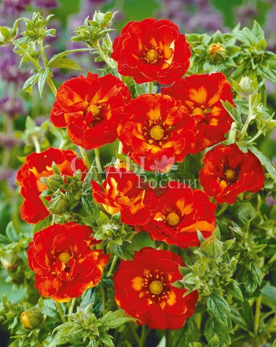 Лапчатка Вильям РоллиссонЛапчатка<br>Красив на загляденье. Цветки яркие, кораллово-красные, полумахровые с волнистыми шёлковыми лепестками. Высота 30—40 см.<br>