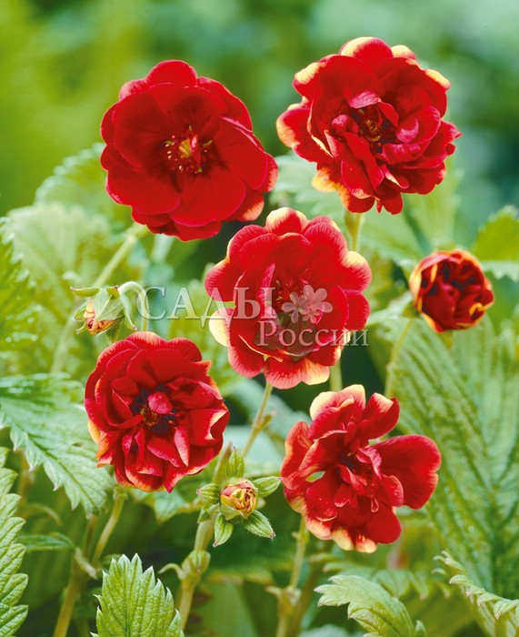 Лапчатка РадугаЛапчатка<br>Яркая, выразительная, просто «глаз не отвести». Цветки до 4 см в диаметре с красно-гранатовыми атласными волнистыми лепестками, светящимися солнцем.<br>