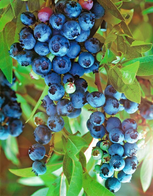Голубика ПолярисГолубика<br>Яркая и ранняя. Ягоды светло-синие с плотным сизоватым восковым налётом, необыкновенно ароматные и вкусные, созревают рано.<br>