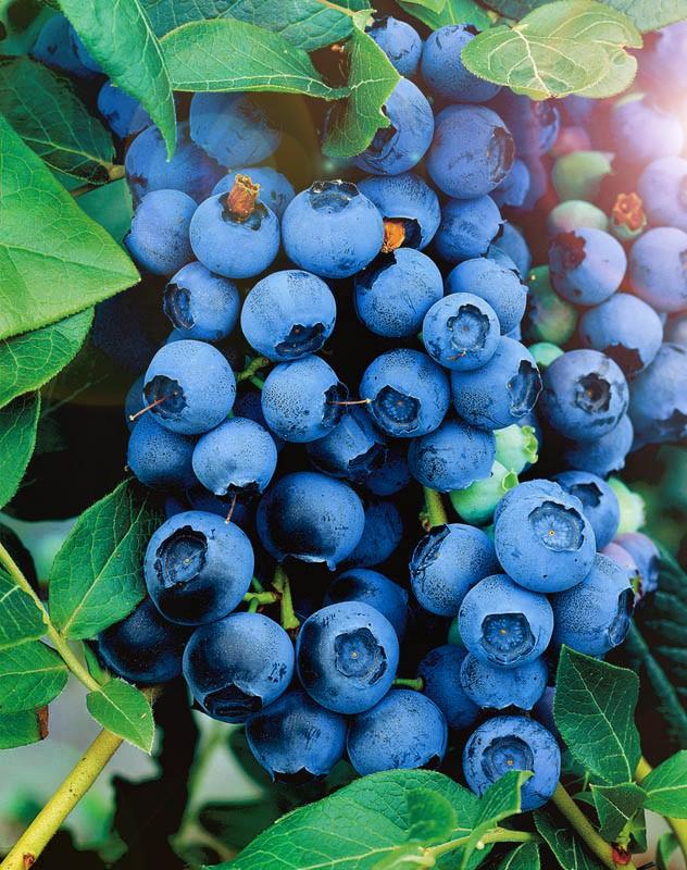 Голубика Северная СтранаГолубика<br>Не боится морозов. Самый зимостойкий сорт среднерослой голубики, выдерживает понижение температуры до – 40 °С.<br>