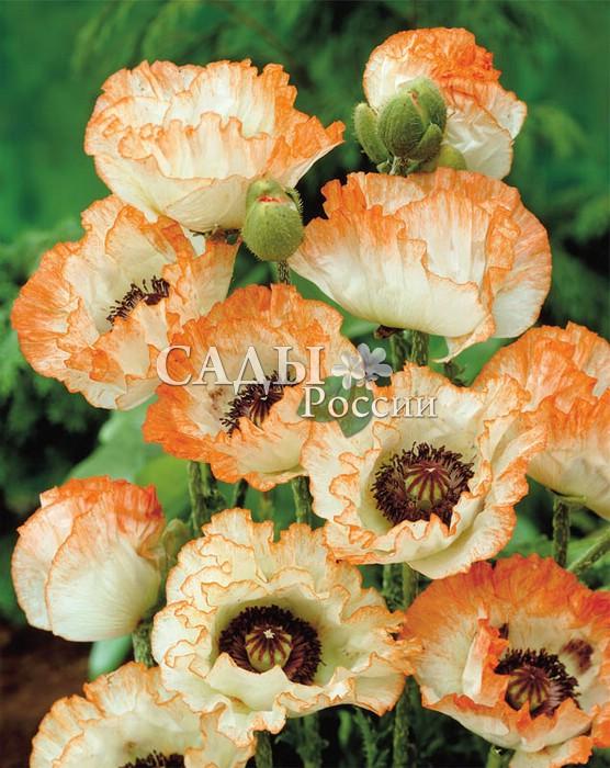 Мак ПикотиМак<br>Сказочно красивый, нежный, тёплый и обаятельный. Диаметр цветка — 18 см.<br>