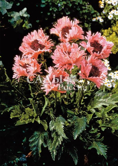 Мак Причудливые перьяМак<br>Фантастическое плотное «оперение» из розовых лепестков <br>лососевых и персиковых оттенков поражает всякое <br>воображение. Цветки 16—18 см (!) в диаметре, махровые.<br>