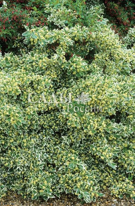 Бересклет Эмеральд ГайетиБересклет<br>Очень живописный, <br>малахитово-зелёный с серебристо-белой каймой по краю листьев. <br>Куст густой и плотный высотой до 0,3 м, в ширину разрастается до 1 м.<br>