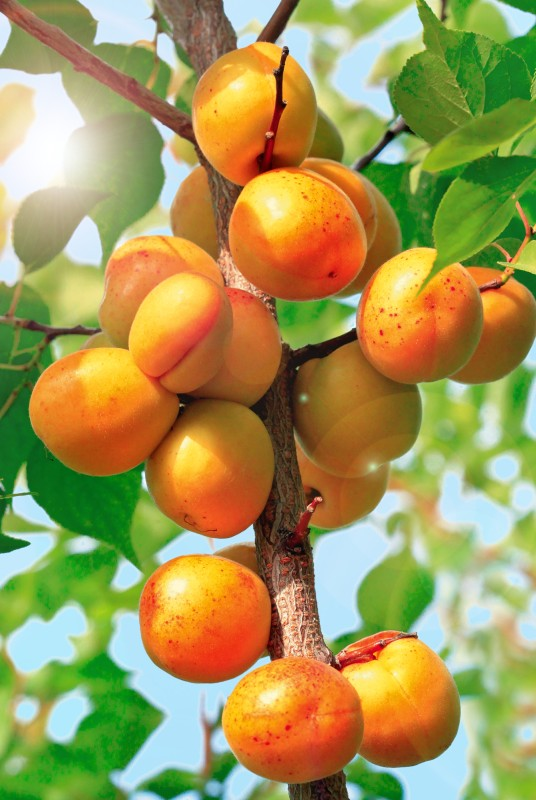Абрикос Золотой нектарАбрикос<br>Дерево небольшое высотой 2,5 м с компактной кроной. Плоды<br>созревают рано (в третьей декаде июля). Мякоть плодов<br>совершенно восхитительная.<br>