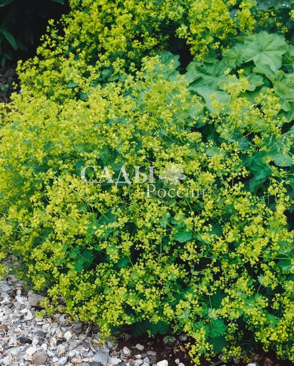 Манжетка мягкаяМанжетка<br>Одна из самых<br>популярных и привлекательных манжеток. Нежно-зелёный фон<br>светлых опушённых листьев, сверкающий радужным блеском росинок,<br>органично дополняют изящные желтовато-оливковые соцветия.<br>