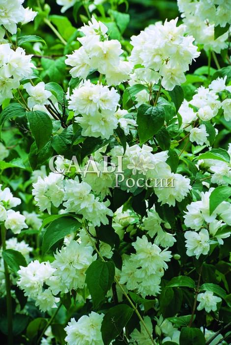 Жасмин ВирджиналЖасмин<br>Усыпан<br>пушистыми снежными хлопьями искрящихся<br>белизной махровых цветков 2—2,5 см в диаметре с<br>приятным ананасно-земляничным ароматом.<br>