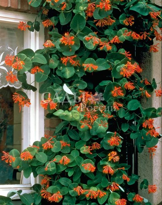 Жимолость Брауна СкарлеттЖимолость<br>Пока ещё малоизвестная российским садоводам полувечнозелёная жимолость-лиана.<br>
