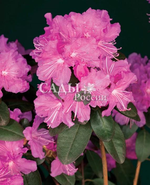 Рододендроны ЭлитныйРододендроны<br>Превосходный раннецветущий сорт,<br>обладающий не только изумительной красотой лавандово-розовых нежных цветков, собранных в пышные соцветия, но и<br>приятным пряным ароматом листьев.<br>