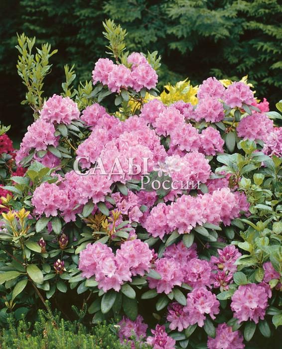 Рододендроны Розовый элегантныйРододендроны<br>Увидев<br>однажды элегантные орхидейно-розовые цветки с нежным<br>коричневым рисунком внутри чашечки, навсегда остаёшься<br>в плену их красоты и обаяния.<br>