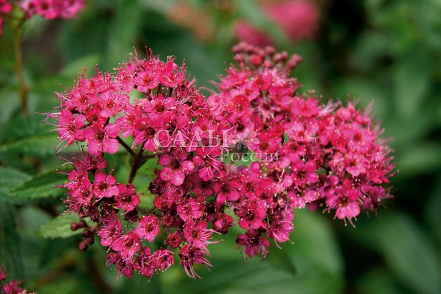 Спирея Дартс краснаяСпирея японская<br>Выделяется очень привлекательной окраской соцветий с амарантовыми, рубиновыми и насыщенно фуксийными оттенками красного цвета.<br>