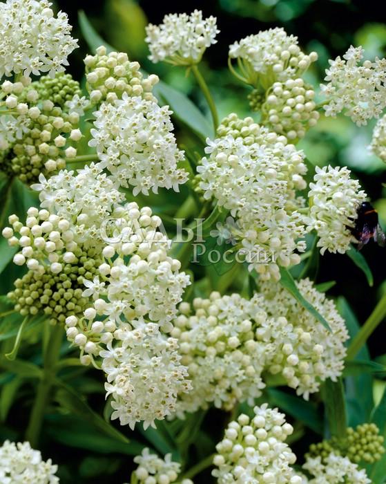 Асклепиас Балет на льдуАсклепиас<br>Завораживающий изысканностью и благородством редкой белоснежной окраски цветков.<br>