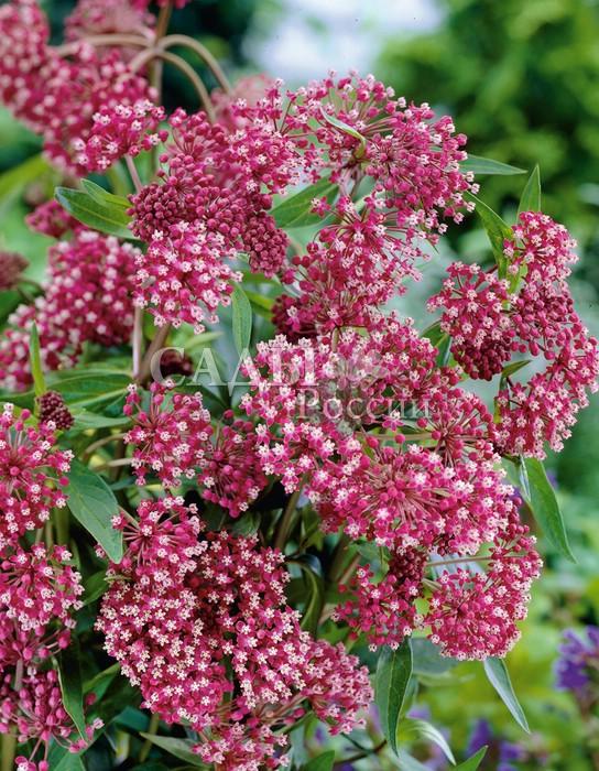 Асклепиас Родственная душаАсклепиас<br>Чудесная гармония бруснично-розовых и нежных светло-сиреневых оттенков.<br>