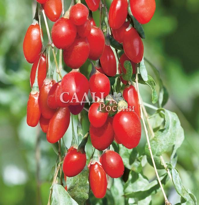 Дереза обыкновеннаяДереза<br>«Ягода счастья»— так называют в Китае плоды этого колючего ветвистого кустарника высотой от 1 до 3 м.<br>