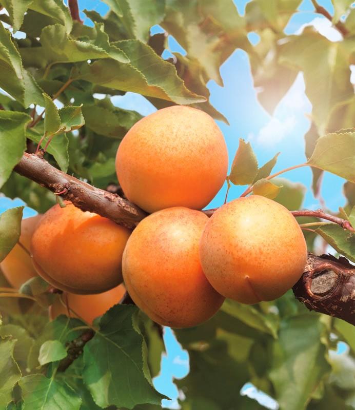 Абрикос КичигинскийАбрикос<br>При хорошей зимостойкости дерево этого сорта даёт до 15 кг отличных плодов. Плоды жёлтые, средней массой 13—15 г.<br>