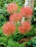 Скадоксус многоцветковый