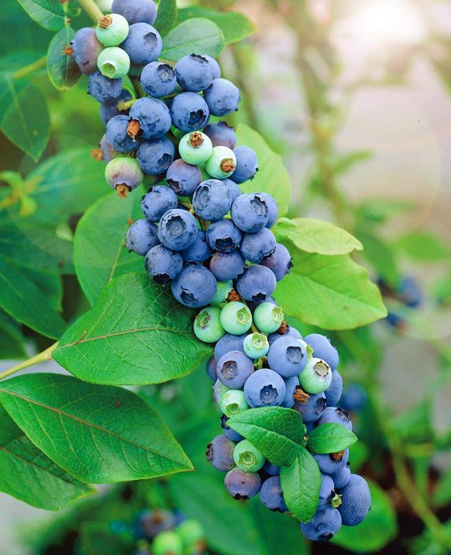 Голубика МидерГолубика<br>Сорт-здоровяк, высокоурожайный, выносливый к погодным катаклизмам<br>и устойчивый к болезням. Куст слегка раскидистый с приподнятым габитусом, растёт быстро, достигая в высоту 2 м.<br>