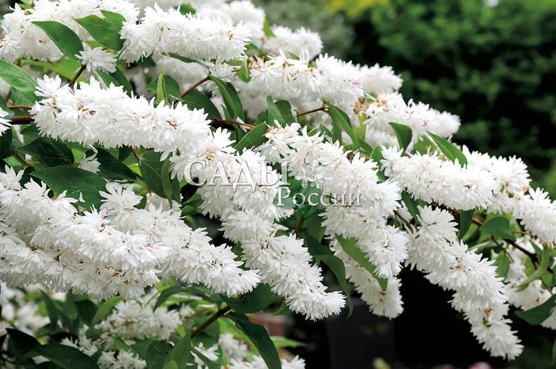 Дейция БелейшаяДейция<br>Прелесть и очарование. Бесподобна в своём белоснежном<br>убранстве пышных соцветий длиной до 12 см. Цветки белые, как<br>жемчуг, махровые, 3 см в диаметре. Цветёт обильно в июне-июле.<br>