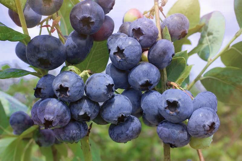 Голубика БонусГолубика<br>Прекрасный среднепоздний<br>сорт под занавес ягодного сезона. Ягоды сине-голубые,<br>упругие, большие<br>(диаметр до 30 мм), с тонким рубчиком, хорошего<br>сбалансированного гармоничного вкуса.<br>