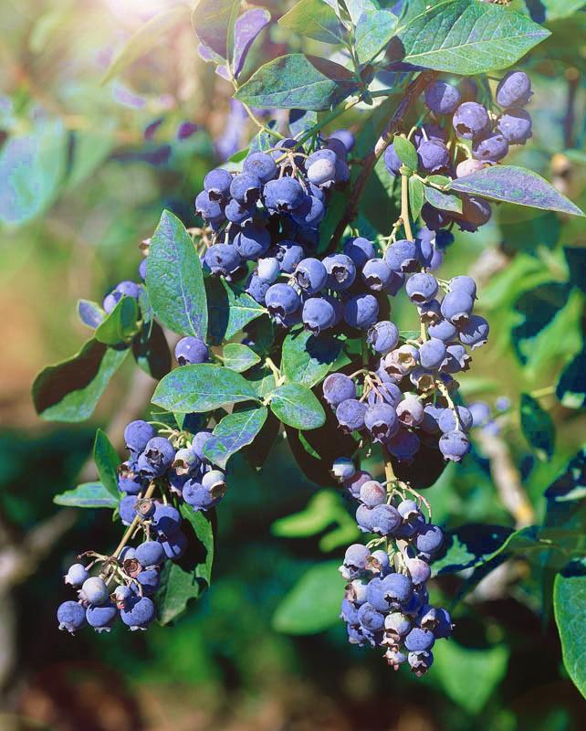 Голубика Каз ПлишкаГолубика<br>Сапфировое наваждение.<br>Отменный урожайный сорт<br>с красивыми насыщенно-синими шаровидными ягодами<br>до 30 мм (!) в диаметре,<br>ароматными и очень<br>вкусными.<br>