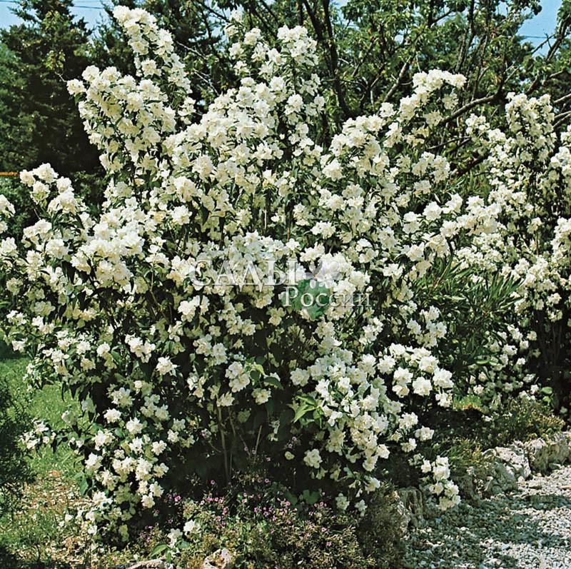 Жасмин Белый букетЖасмин<br>Великолепный сорт известных<br>французских селекционеров<br>отца и сына Лемуанов, создавших богатейшую<br>коллекцию сиреней и чубушников.<br>