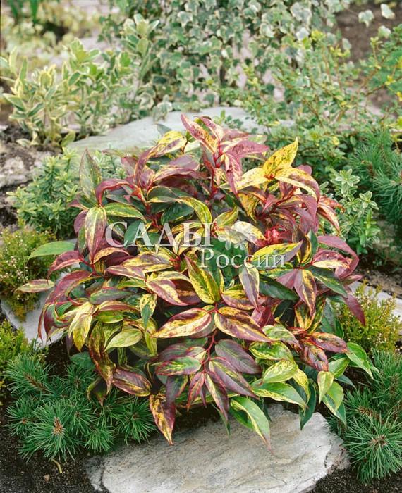 Леукотоэ РадугаЛеукотоэ<br>Яркое попурри оригинальных пёстрых листьев, изменяющих окраску в течение сезона от розовых<br>оттенков весной до пёстро-мраморных летом и потрясающе<br>эффектных огненно-красных осенью.<br>