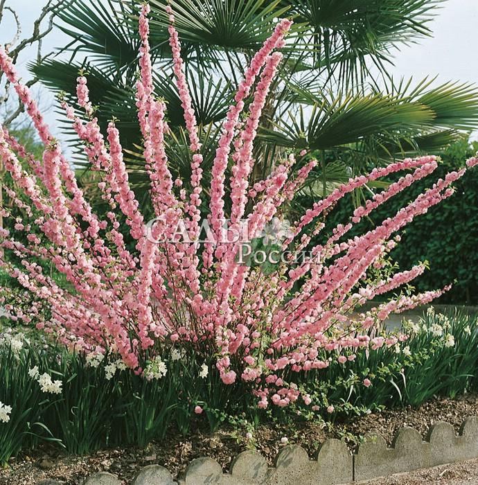 Миндаль трёхлопастнойМиндаль<br>Восхитительно красивый кустарник, встречается под названием «китайская<br>махровая слива», или миндаль трёхлопастной. Цветёт до распускания листьев.<br>