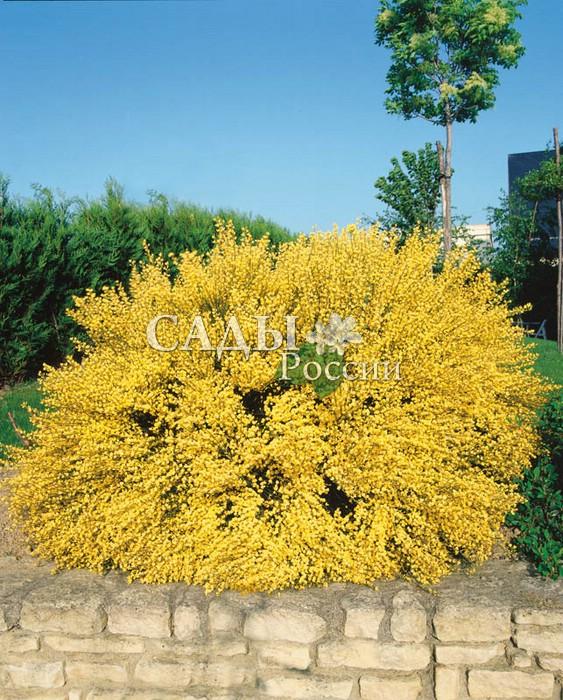Ракитник Весь в золотеРакитник<br>Цветки медово-янтарные,<br>очень ароматные.<br>